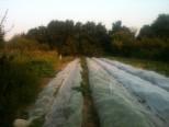 Jardin - champs du verger - août