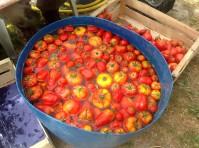 Nettoyage des tomates pour coulis