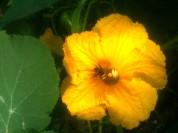 Butinage d'une fleur de courge