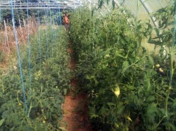 Soins des plants de tomates avec Joseph