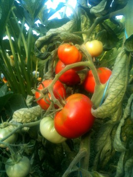 Grappe tomates