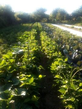 Maintien des haricots