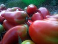 Tomates andines