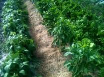 Mulch aux pieds des poivrons