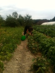 Sandra wwoofeuse Grec cueille les haricots