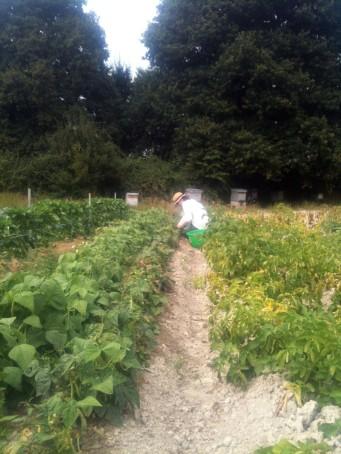 Brigidd wwoofeuse Australienne cueille les haricots