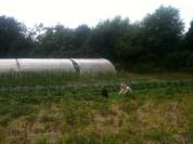 Brigidd wwoofeuse autralienne récolte les haricots