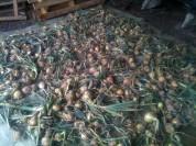 Séchage, entreposage des oignons
