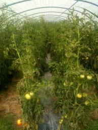 Tomates sous la serre