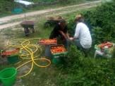 Brigdd & Sandra au nettoyage des tomates