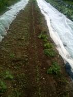 Semis de navets