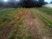 Plantation salades entre les panais