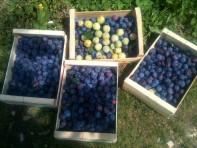 Récolte des prunes