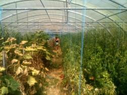 Récolte des tomates sous serre