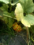 Petite courge