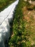 Céleris-raves - suppresion des feuilles abîmées