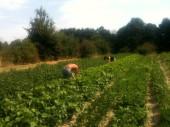 Cueillette des haricots