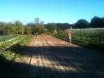 Semis direct d'engrais vert
