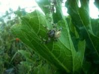 Araignée dans les courgettes