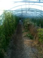 Semis épinard géant d'hiver