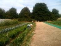 Récolte des haricots avec Joseph, David et Pada