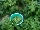 Récolte des haricots
