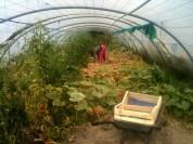 Serre mare - récolte des oignons par Estelle