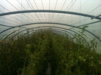 Serre tomates - taille