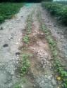 Semis de radis sortant de terre