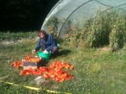 Samuel - récolte des tomates