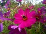 Comos Bee