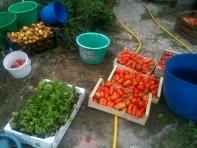 Conditionnement tomates