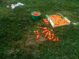 Sleep dog tomato
