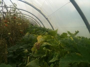 Plants de courgettes - septembre