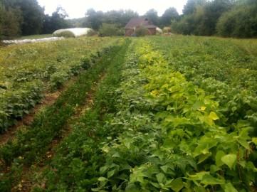 Champs du chalet - récolte haricots