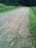 Lignes de radis et navets