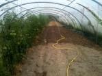 Arrosage pour plantation de bette-cardes