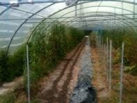 Semis d'épinards