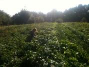 Estelle - récolte haricots