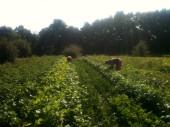 Joseph et Estelle - récolte des haricots
