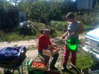 Pada et Estelle - conditionnement des tomates