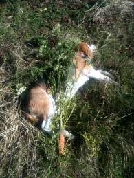 Dog à la carotte