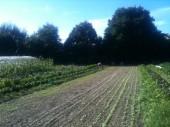 Champs entre les serres - semis de radis , navets, engrais verts