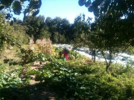 Estelle - récolte courgettes