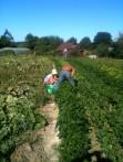 Estelle, Joseph - récolte des haricots