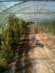 Estelle - arrosage épinards