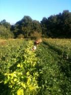 Estelle, Joseph - récolte haricots