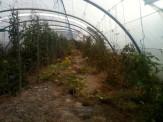 Serre mare - récolte tomates