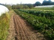 Plantation mâche - champs entre les serres