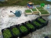 Récolte de haricots (55kg)